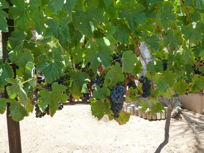 2011 Vintage Syrah at Live Oak Vineyard