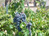 GrapeVines 3