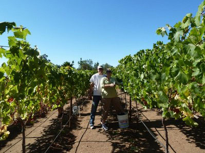Syrah harvest at Live Oak Vineyard 2